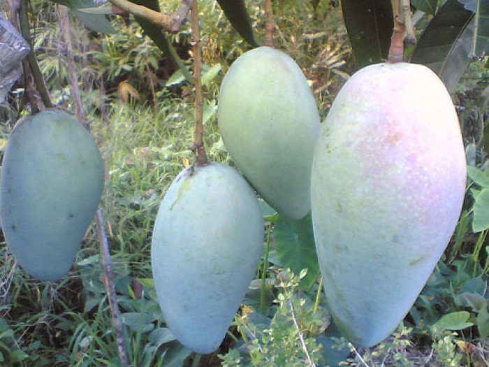 Cây giống xoài Đài Loan quả to số lượng lớn, chất lượng đảm bảo