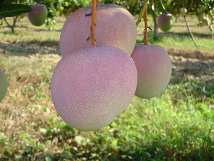 Cây giống xoài úc chuẩn giống, chất lượng cao, giao cây toàn quốc