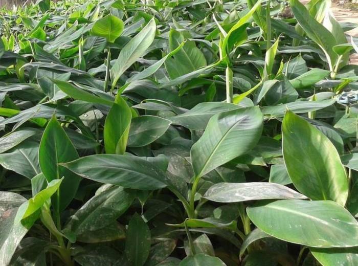 Chuyên cây giống chuối nuôi cấy mô: chuối tiêu hồng, chuối mốc, chuối tấy thái, chuối tây thái lùn chất lượng cao