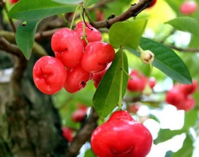Cây giống roi thái đỏ chuẩn F1, chất lượng cao, giao cây toàn quốc