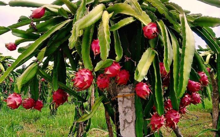 Cây giống thanh long ruột đỏ chuẩn giống, chất lượng cao, giao cây toàn quốc