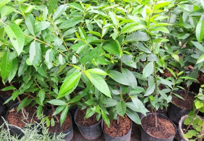 Cây giống vối nếp chuẩn giống, chất lượng cao, giao cây toàn quốc