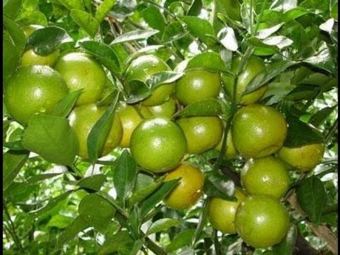 Cây giống quýt đường Thái Lan chuẩn F1, chất lượng cao, giao cây toàn quốc
