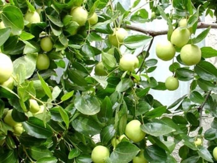 Cây giống táo chua Gia Lộc chuẩn giống, chất lượng cao, giao cây toàn quốc