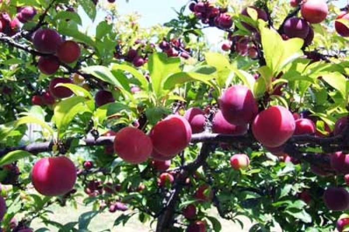 Cây giống mận tam hoa chuẩn giống, chất lượng cao, giao cây tòan quốc