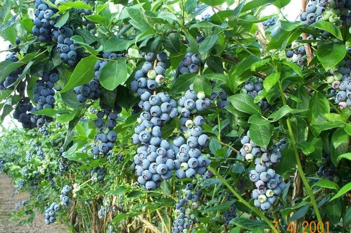 Cây giống việt quất, sim úc nhập khẩu chất lượng cao, giao cây toàn quốc