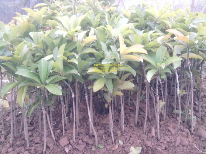 Cây giống hồng xiêm Xuân Đỉnh chuẩn giống, chất lượng cao, giao cây toàn quốc