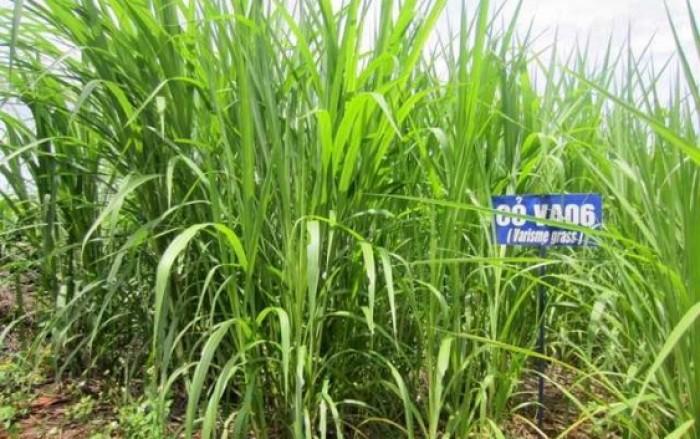 Hom giống cỏ VA06 chuẩn giống, chất lượng cao