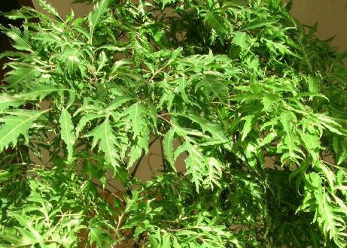 Chuyên cây giống đinh lăng nếp lá nhỏ, bao tiêu sản phẩm đầu ra