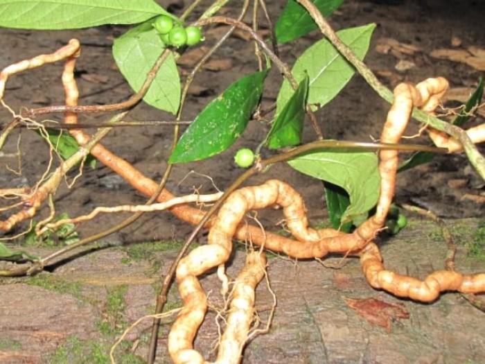 Chuyên cây giống ba kích hoạt chất cao, số lượng lớn, giao cây toàn quốc