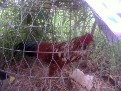 Tôi cần bán mấy con gà heu cuat hay