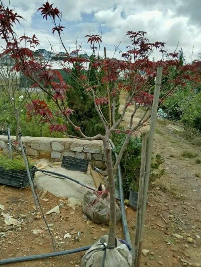 Cây phong lá đỏ lớn đẹp