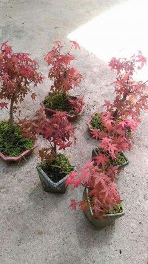 Cây phong lá đỏ mini
