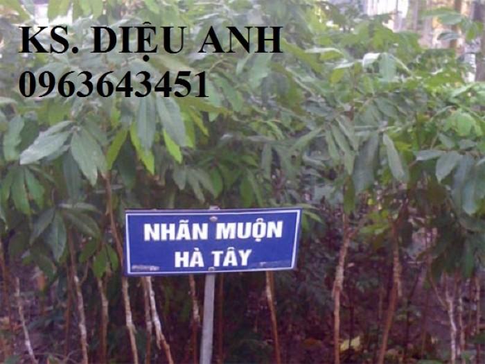 Bán cây giống nhãn sớm Hưng Yên, nhãn muộn, nhãn lồng, nhãn T6 Hà Tây, nhãn Hương Chi.