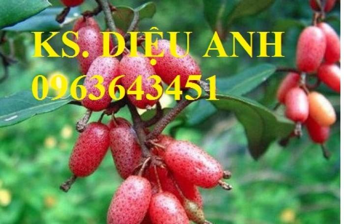 Bán cây giống nhót ngọt chuẩn giống, đảm bảo chất lượng, giao cây toàn quốc