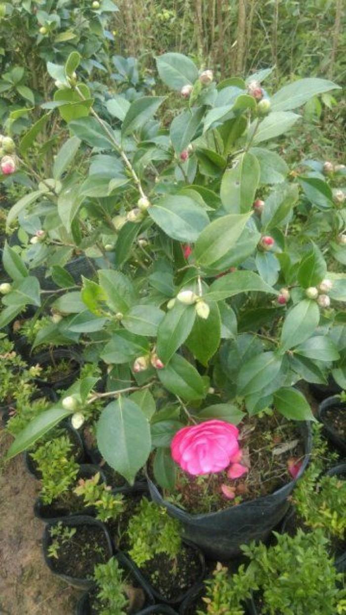 Hoa trà mi đỏ