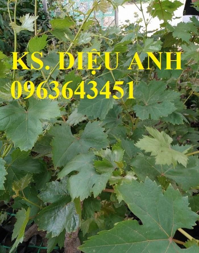 Chuyên cây giống nho Pháp nhập khẩu chuẩn giống, cam kết chất lượng, giao cây toàn quốc