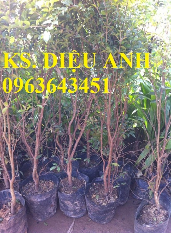 Cây giống nho thân gỗ nhập khẩu chuẩn giống, cam kết chất lượng, giao cây toàn quốc