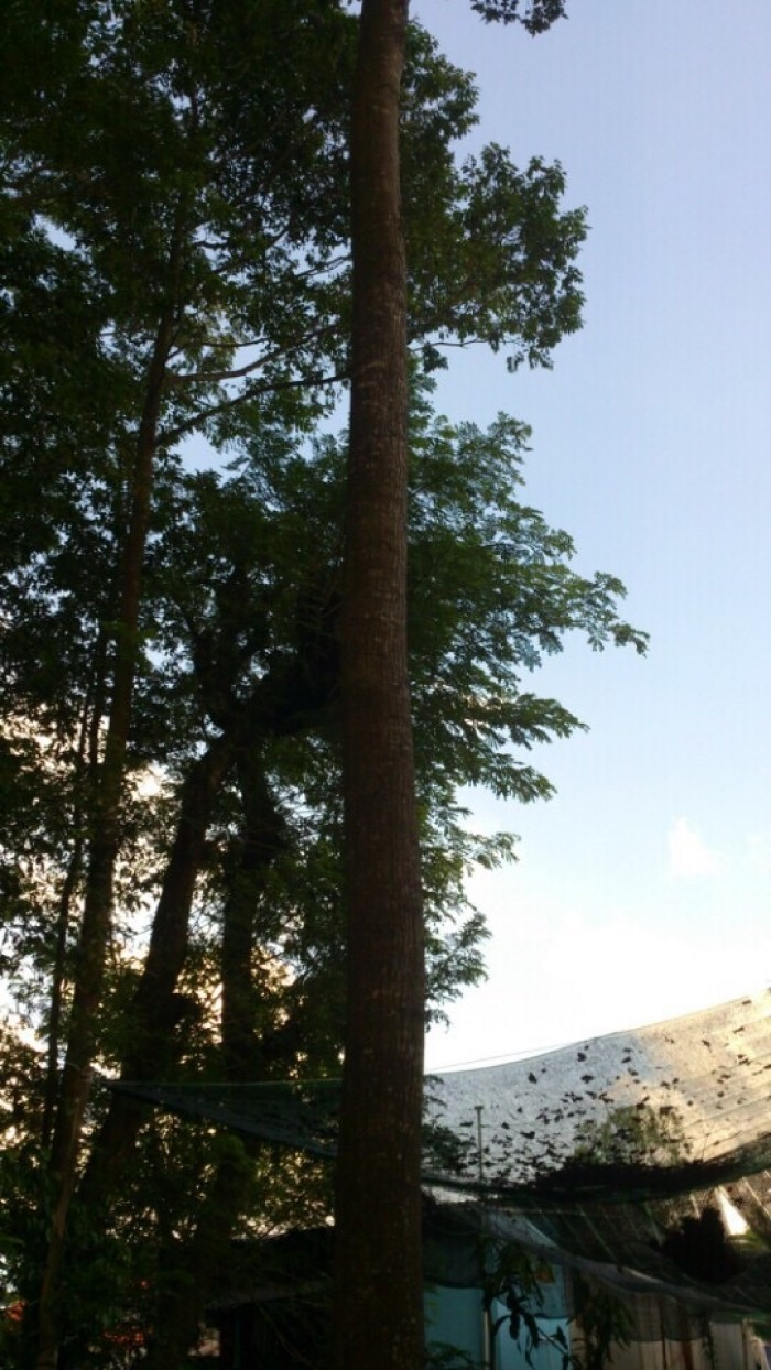 Cần bán vườn Sao 11 cây tại Châu Đốc