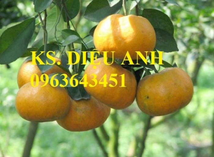 Bán cây giống quýt đường Thái Lan chuẩn F1, giao cây toàn quốc.