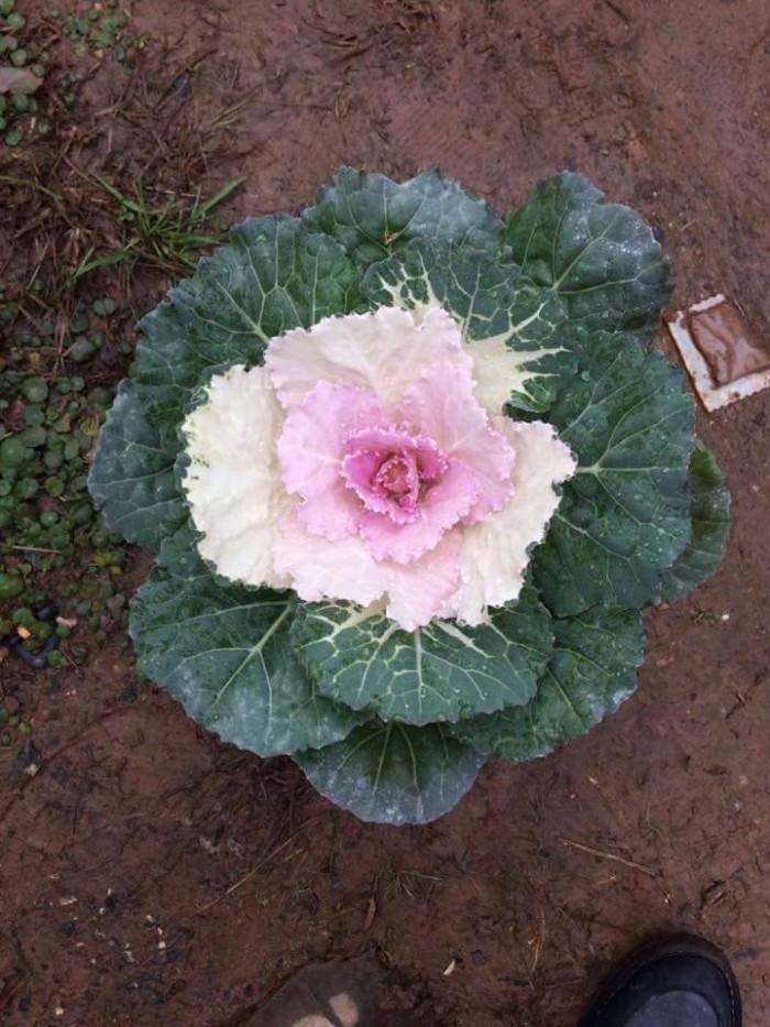 Hoa bắp cải