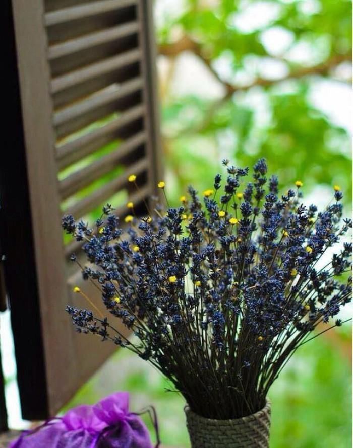 Hoa lavender provence_pháp7