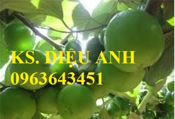 Chuyên cây giống táo: Táo Thái Lan, Táo lê Đài Loan, Táo chua, Táo đại, táo đào vàng, táo D28