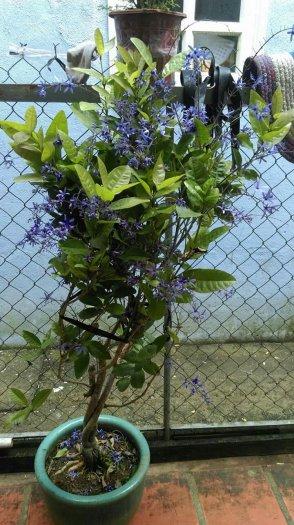 Cây mai xanh Đà Lạt