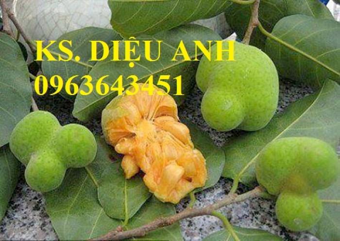 Cây giống thiên lý siêu hoa, phật thủ, cóc thái, cây chay, vối nếp, chuẩn giống, giao cây toàn quốc