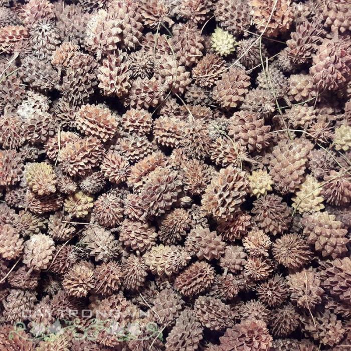 Hạt Giống Cây Phi Lao