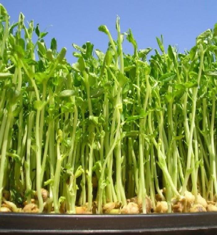 ram mầm đậu hà lan
