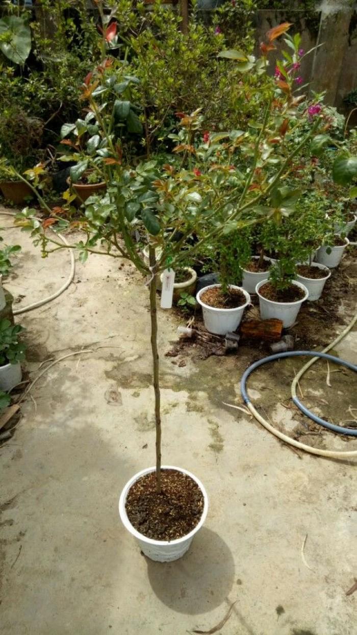Hồng thân gỗ Thái Lan cỡ nhỏ
