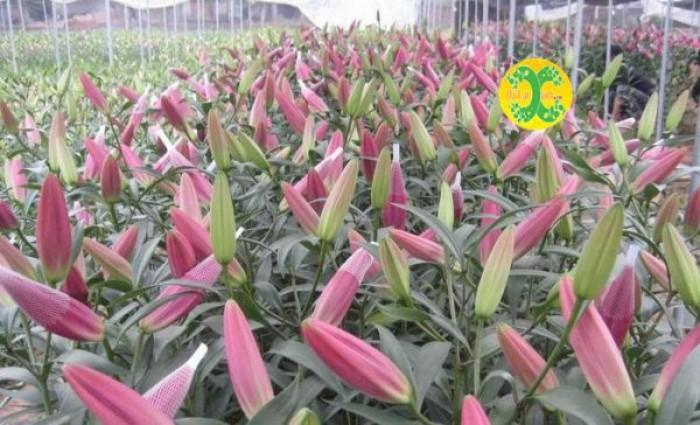 Hoa ly Ù đỏ Robina2