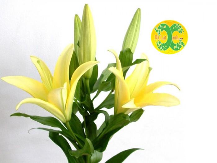 Hoa Ly vàng nhọn6
