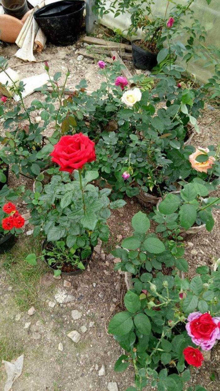 Sỉ hoa hồng Đà Lạt