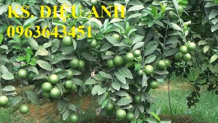 Cây giống chanh tứ quý(chanh 4 mùa) chanh đào, chanh Mỹ không hạt,chất lượng cao, giao cây toàn quốc