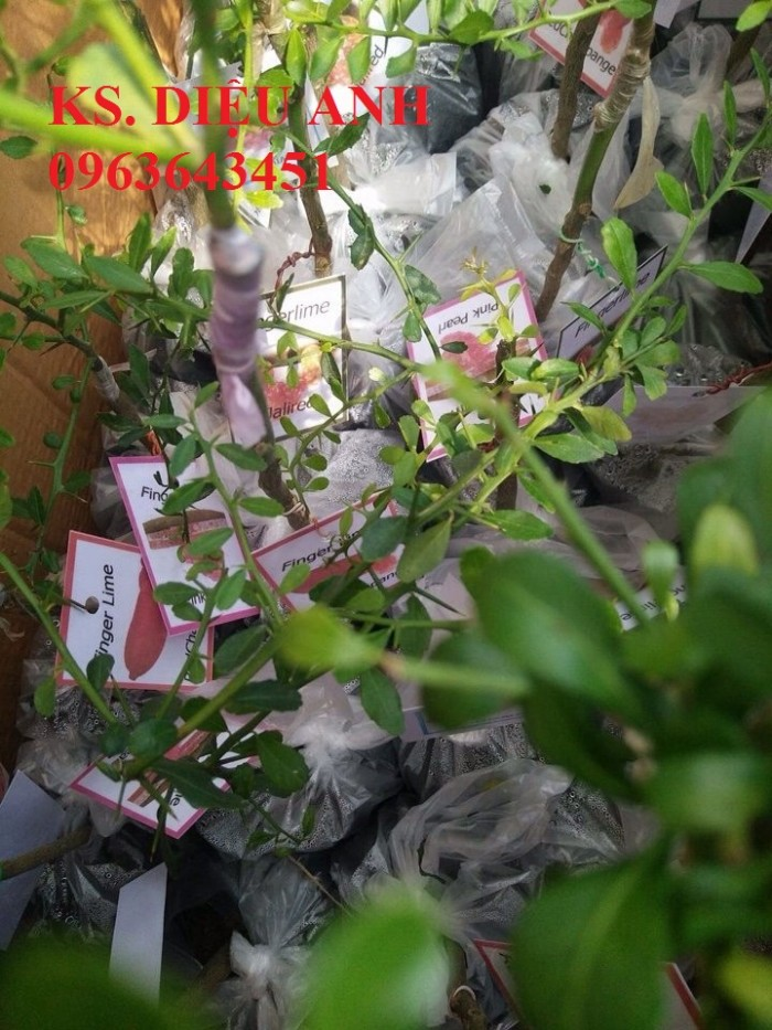 Tin đăng có nội dung bị trùng lặp với tin đã đăng của Quý khách - Cây giống chanh nhập khẩu: chanh ngón tay, chanh máu, chanh dây Đài Loan chất lượng cao