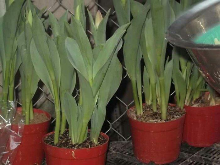 Sỉ tulip chậu tết Đà Lạt