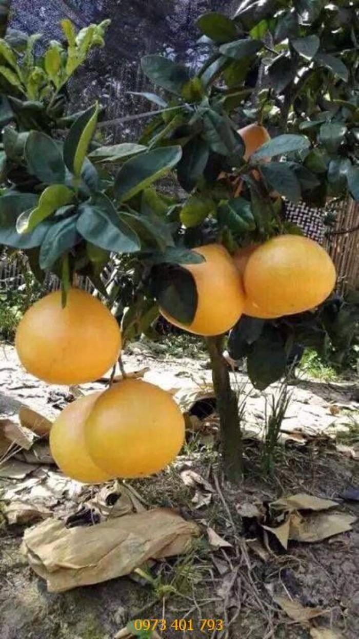 Sản xuất và Cung cấp cây giống bưởi