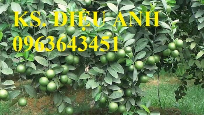Cây giống chanh tứ quý, chanh bốn mùa không hạt chuẩn giống, số lượng lớn, giao cây toàn quốc
