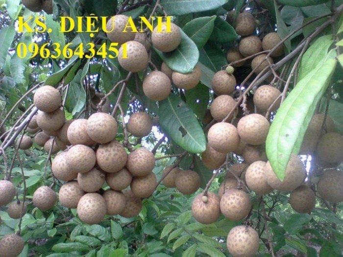 Cây giống nhãn muộn Hưng Yên, nhãn hương chi, nhãn T6 Hà Tây, nhãn không hạt các loại1