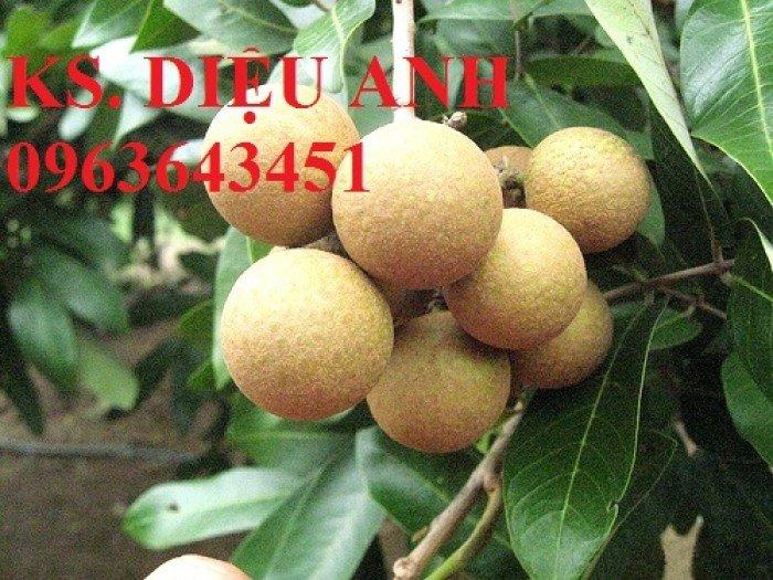 Cây giống nhãn muộn Hưng Yên, nhãn hương chi, nhãn T6 Hà Tây, nhãn không hạt các loại2