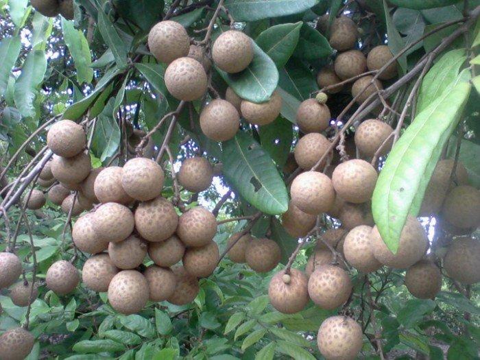 Chuyên cung cấp giống cây nhãn muộn, nhãn muộn hưng yên, nhãn miền thiết1