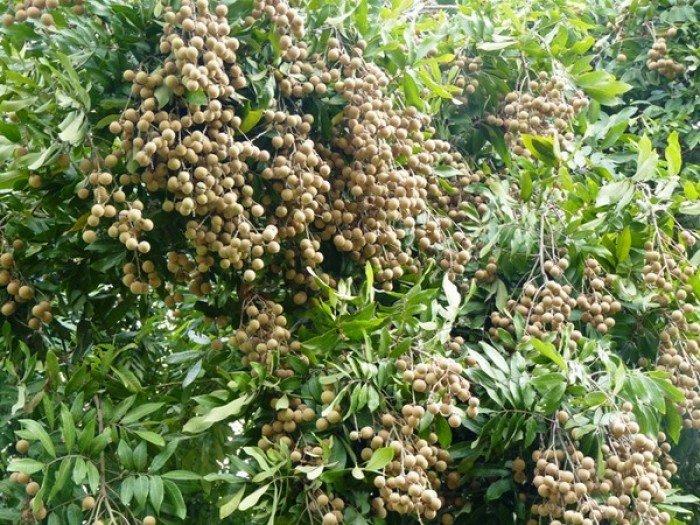 Chuyên cung cấp giống cây nhãn muộn, nhãn muộn hưng yên, nhãn miền thiết2