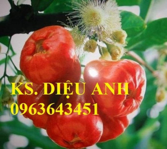 Giống cây roi thái đỏ, cam kết chuẩn giống, giao cây toàn quốc2