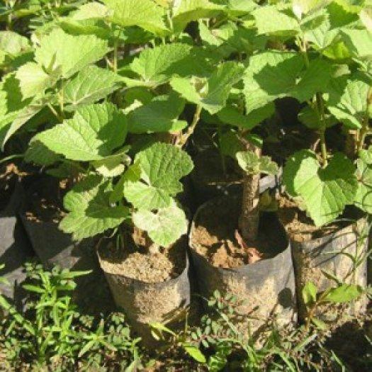 Chuyên cung cấp giống cây nho pháp,nho pháp, cây nho giống, cây giống nho pháp1