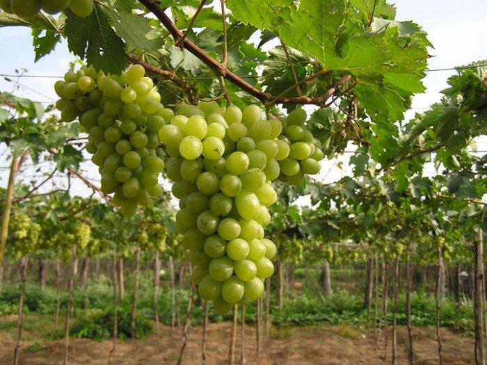 Chuyên cung cấp giống cây nho pháp,nho pháp, cây nho giống, cây giống nho pháp3