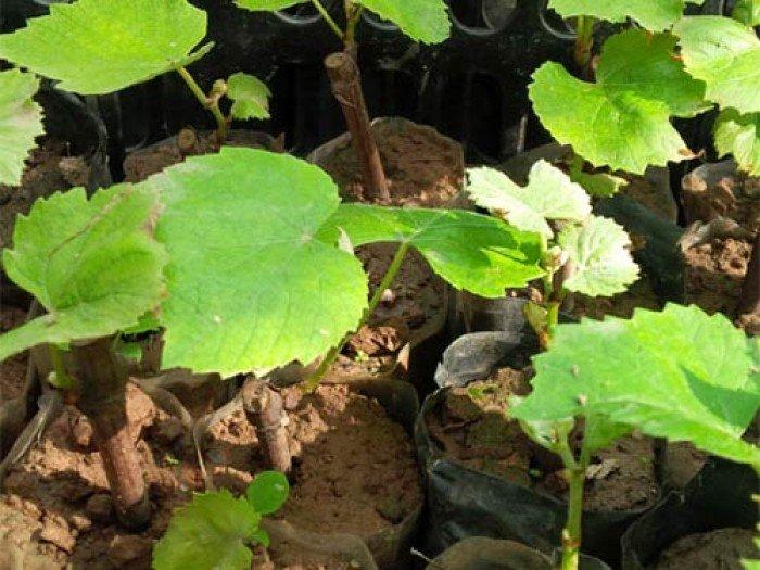 Chuyên cung cấp giống cây nho pháp,nho pháp, cây nho giống, cây giống nho pháp4