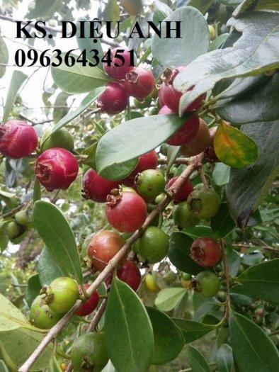 Cây giống cherry, cam kết chuẩn giống, giao cây toàn quốc1