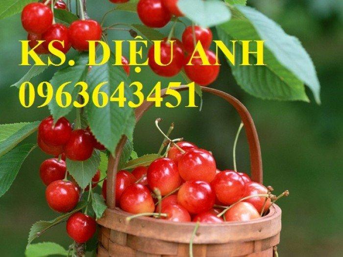 Cây giống cherry, cam kết chuẩn giống, giao cây toàn quốc3